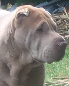 My-Sharpei-Dog